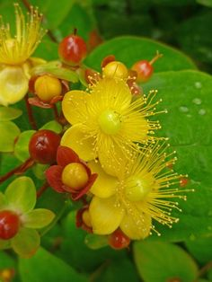 Hypericum calycinum, 'Aaron's Beard', & Hypericum androsaemum are shade-tolerant native shrubs. To 3 ft. tall and wide, with stems arching toward the top. Clusters of 3/4-in., golden yellow flowers in summer. Blossoms are followed by inedible berrylike fruits that turn from red to purple to black as they age.Useful as tall ground cover at edge of woods, on shaded slopes, in a wild garden. Tolerant of poor soil conditions, like clay etc.