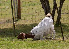 5 Things I Learned the Hard Way About Raising Goats - http://modernfarmer.com/2016/05/lessons-from-raising-goats/?utm_source=PN&utm_medium=Pinterest&utm_campaign=SNAP%2Bfrom%2BModern+Farmer