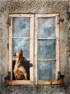 dogs in windows