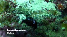 Video Sarasvati Anemone Shrimp   Pata Negra Alona Panglao Bohol Bohol, Scuba Diving, Shrimp, Herbs, Island, Beach, Diving, The Beach, Herb