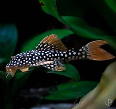 How To Choose A Tropical Fish Aquarium The first decision you must make when you buy an aquarium is whether you plan to keep freshwater fish or saltwater Pleco Fish, Discus Fish, Betta Fish, Fish Fish, Tropical Fish Aquarium, Aquarium Fish Tank, Fish Aquariums, Fish Tanks, Oscar Fish