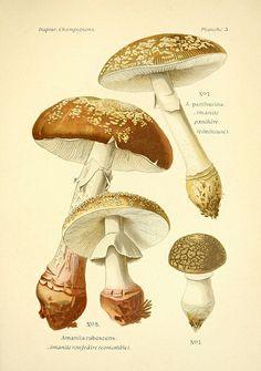 Atlas des champignons comestibles et vénéneux.  Mushrooms, botanical illustration.