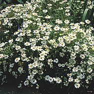 Melampodium leucanthum (Blackfoot daisy)  A native perennial shrub that grows to about 2 feet tall and wide and covers itself the whole season with honey-scented, white and yellow daisy flowers. The foliage is typical of the aster family. Plant en masse in a well-drained border or use in a rock garden. Blackfoot daisy can be short-lived.