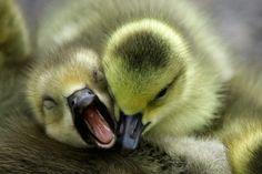 goslings.