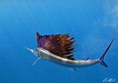 The sailfish comprise a genus, Istiophorus, of billfish living in warmer sections of all the oceans of the world.