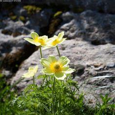 Alppikylmänkukka - alppikylmänkukka Pulsatilla alpina subsp apiifolia keltainen…