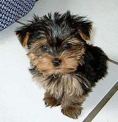 Yorkshire Terrier van Puppykennel