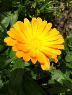 Marigold.Home.Garden.Körömvirág.