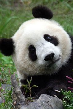 Buy me a panda and I will be the happiest person in the world. But if it kills me, I will sue you.