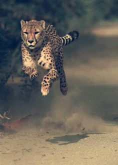 Cheetah In Full Speed