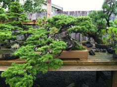 Eastern hemlock, want cascade style but not this much i would want mine to have a cleaner look