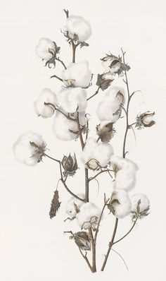 13th Annual International Juried Botanical Art Exhibition 2010: Cotton: