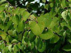 Cercidiphyllum japonicum (Katsura-tree): Go Botany Katsura Tree, Botany, Plant Leaves, Landscape, Plants, Woody, Trees, Google Search, Plant