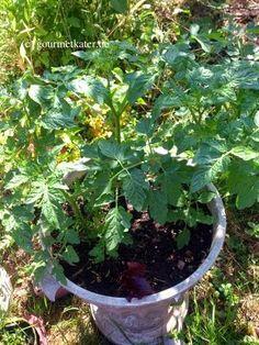 Tomaten kann man überall anbauen! Im Blogbeitrag gibt es meine kleine Tomaten-Pflege! #gardening #tomato