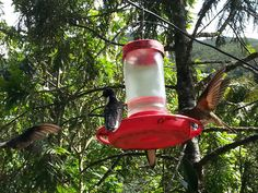 Hummingbirds at the Acaima Sanctuary in Cocora Valley Colombia