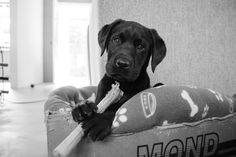 Labrador pup Boris #labrador #puppy