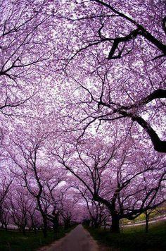 Jacaranda Trees ♡