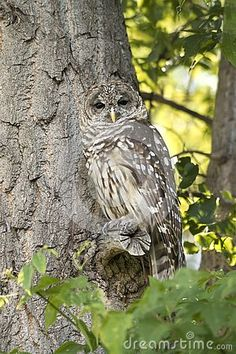 Northern Spotted Owl Watching From Tree Branch In Tree Camoflauged In Green Forest Stock Photo - Image of eyed, growth: 153295734 Black Mantis, Northern Spotted Owl, Hawk Photos, Leaf Images, Bird Watching, Tree Branches, Wilderness, Owls, Birds