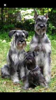 Ranked as one of the most popular dog breeds in the world, the Miniature Schnauzer is a cute little square faced furry coat. Schnauzers, Schnauzer Breed, Schnauzer Grooming, Standard Schnauzer, Miniature Schnauzer Puppies, Giant Schnauzer, Schnauzer Puppy, Dog Grooming, Beautiful Dogs