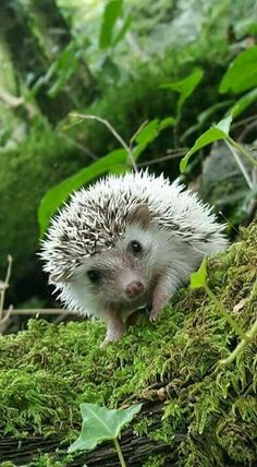 Hedgehog hello.
