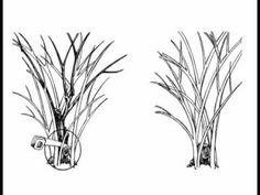 Plant Amnesty: Rehabilitative Pruning (3 of 4)