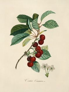 "Cherry. ""A Curious Herbal Antique Botanical Illustration"" By Elizabeth Blackwell, published in 1737 in London by Samuel Harding. Engraved on folio copper plates."