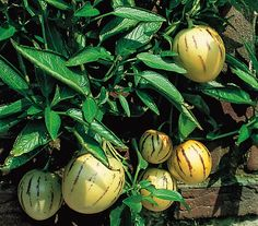 Melonenbirne: Dehner Garten Center