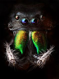 Credit: Animal Earth/Thames & Hudson Arthropods: a jumping spider, Phidippus audax. Arthropods, which include inse...