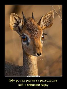 Dik Dik has such a cute lil face! They are the tiniest antelopes of the afric… : he Dik Dik has such a cute lil face! They are the tiniest antelopes of the african savanna ? Photos by Baby Animals, Cute Animals, Small Animals, Tier Fotos, Instagram Worthy, Forever, Belle Photo, Funny Cute, Animal Kingdom