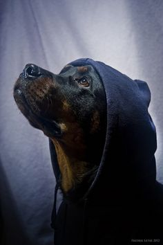 Only a rottie would be able to pull off wearing a hoodie! (And a pitbull.)