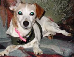 My name is Sydney and I am a 13-year-young spayed female Jack Russell Terrier. I am healthy as a horse! I have lots of energy for a little gal my age. I am housetrained and crate trained. I love to roll around in the grass outside and lie in the sun. I walk nicely on a leash and I'm even fine with kids! I am friendly, loveable, and affectionate. I get along with dogs and cats. Don't let my age fool you, I have spunk! Plus, age is just a number!     Email Mtocker@berksarl.org to meet me!