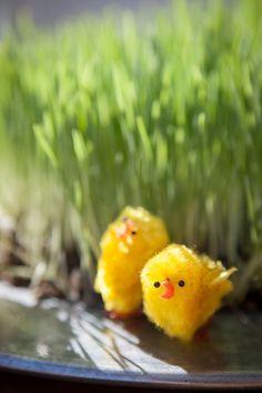 Aloita pääsiäisvalmistelut kylvämällä rairuohoa. Rairuohon idättäminen on helppoa. Easter Recipes, Bird, Birds