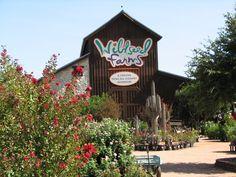 Wildseed Farms  Fredericksburg, Texas  August 2009