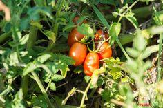 Tomate, die Frucht aus dem Paradies, oder in Österreich auch Paradeiser genannt - ein Lebensmittel-Steckbrief Stuffed Peppers, Vegetables, Blog, Traditional Chinese Medicine, Healthy Food, Healthy Recipes, Stuffed Pepper, Vegetable Recipes, Blogging