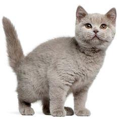 De Brits Korthaar past met een score van 100% het beste bij mij. Welke kat past het beste bij jou ? Test het nu! https://www.gekopkatten.nl/katten-rassentest/