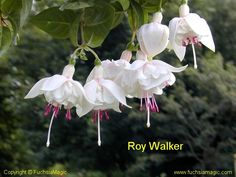 Fuchsia Roy Walker - more soft pink
