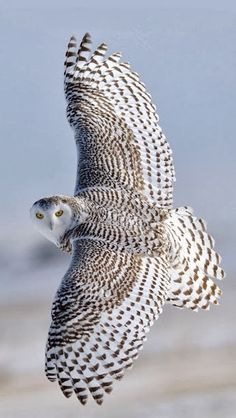 Superb Nature - fyowls: Wings Wide Open Snowy Owl by Rob McKay. Beautiful Owl, Animals Beautiful, Majestic Animals, Beautiful Patterns, Photo Animaliere, Owl Pictures, Owl Photos, Owl Bird, Tier Fotos