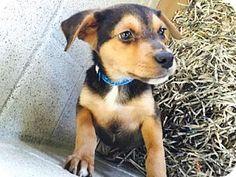 NO LONGER AVAILABLE Atlanta, GA - Chihuahua/Beagle Mix. Meet Theo, a puppy for adoption. http://www.adoptapet.com/pet/15109019-atlanta-georgia-chihuahua-mix