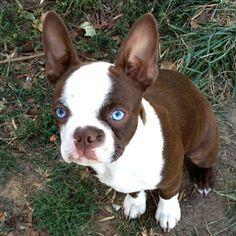 Blue eyed Boston Terrier.