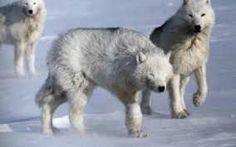 """Résultat de recherche d'images pour """"vincent munier loup arctique"""""""