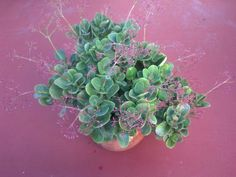 One of my succulents in bloom.