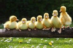 All your duck(ling)s in a row. Farmer Chris Murray said: 'The ducklings had been incubated and this was their first outing after they hatched three days ago.Ducklings are wonderful, inquisitive animals. Cute Baby Animals, Farm Animals, Animals And Pets, Funny Animals, Funny Birds, Wild Animals, Beautiful Birds, Animals Beautiful, Beautiful People