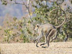 Gray Langur (Semnopithecus hypoleucos) running in the forest of Madhya Pradesh