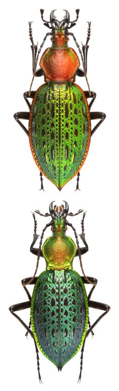 Coptolabrus lafossei coelestis – Carabidae