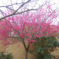 Pink blossoms on a garden tree Garden Shrubs, Garden Trees, Garden Plants, Prunus Mume, Small Trees For Garden, Flowering Cherry Tree, Woodland Garden, Winter Flowers, Pink Blossom