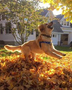 Puppy Playing In The Leaves For The First Time