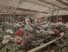 Title: Peony Garden  Artist: Kusakabe Kimbei  Artist Bio: Japanese, 1841 - 1934  Creation Date: c. 1890s  Process: albumen print  Museum of Photographic Arts Collections, via Flickr