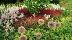 Lökväxten Allium 'Globemaster', astilbesorterna 'Rotlicht', 'Irrlicht', 'Bressingham Beauty' och ett litet träd växer upp ur en matta av marktäckande flocknäva. En mixad rabatt i flera skikt i Klosterparken. I slutet av juli har 'Globemaster' blommat ut men lämnats kvar eftersom bollarna fortfarande är vackra och matchar färgsättningen superbt.