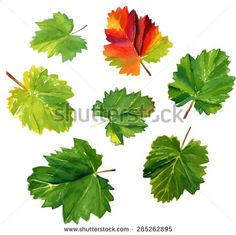 A collection of watercolour vine leaves on white background, scalable vector drawing