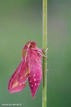 IMAGE: http://www.acremar.it/Forum10/pink.jpg